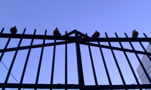 Photo of ducks on top of front gate